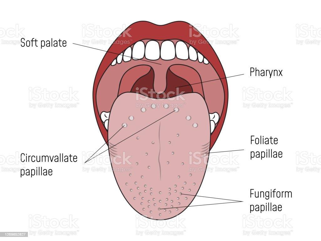 circumvallate papillae tongue negii genitali se pot transmite iubitei tale