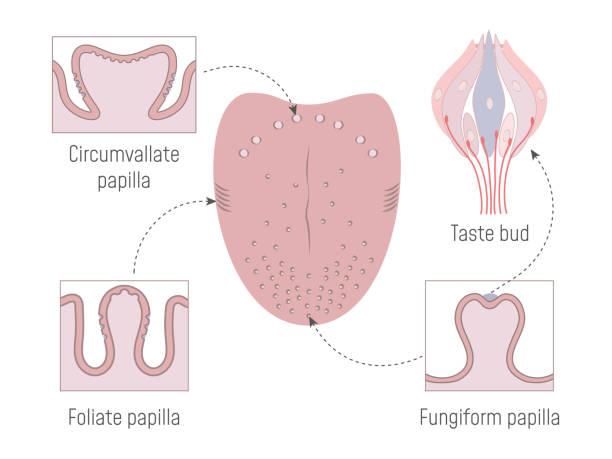 illustrazioni stock, clip art, cartoni animati e icone di tendenza di lingual gustatory papillae and taste buds - lingua umana