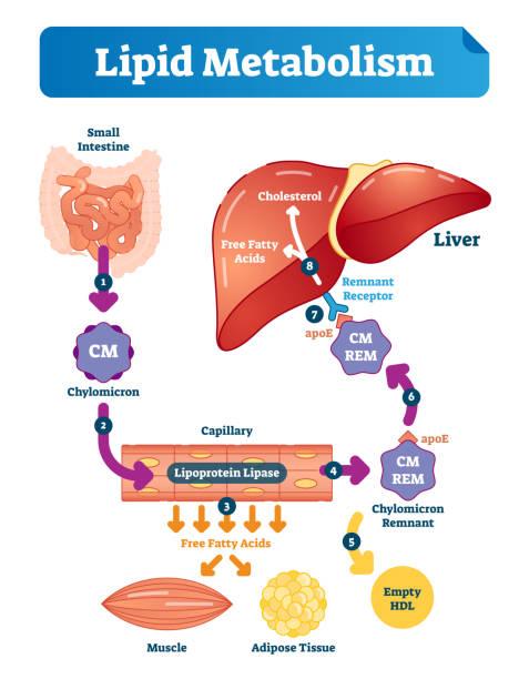 Lipid metabolism vector illustration infographic. Labeled medical scheme. Lipid metabolism vector illustration infographic. Labeled medical cycle scheme with small intestine, chylomicron, capillary, free fatty acids, cholesterol and liver. lipid stock illustrations