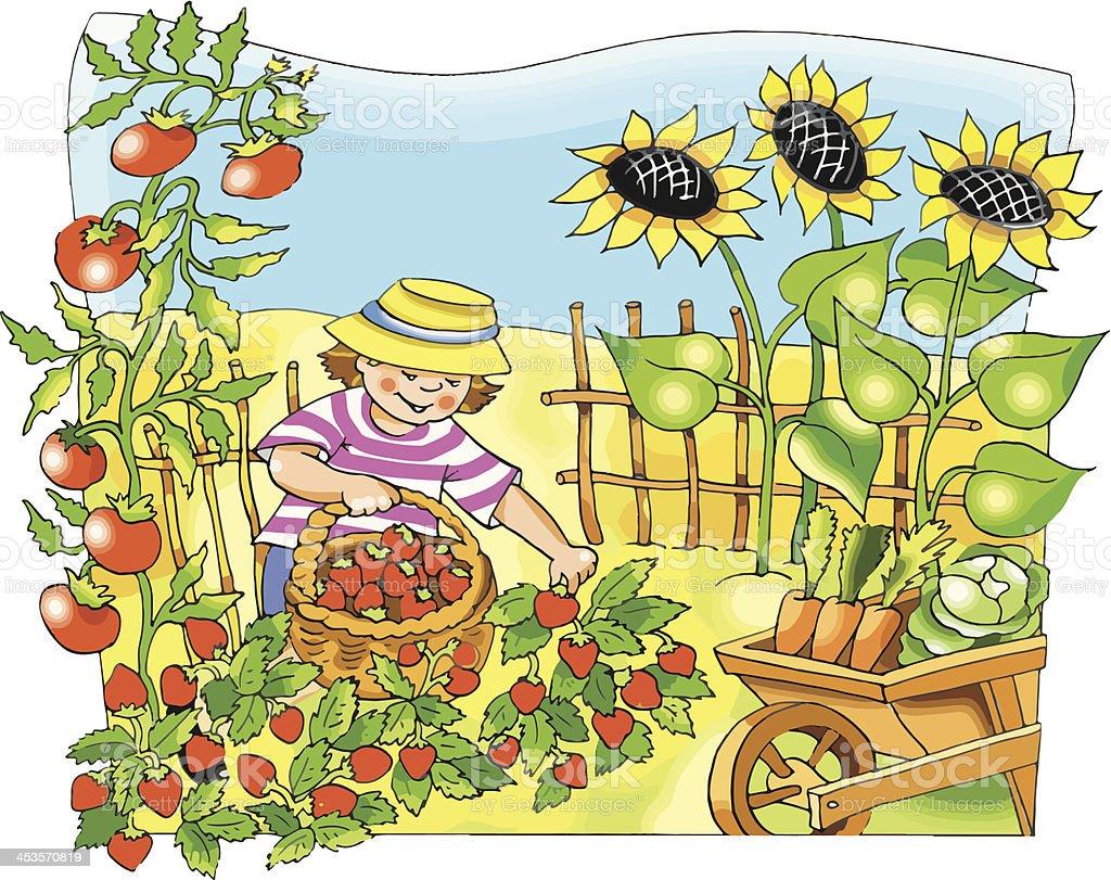 Little farmer boy picking strawberry vector art illustration