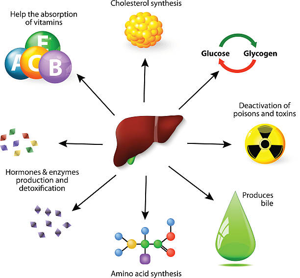 liver functions liver functions. Liver plays a major role in metabolism with numerous functions in the human body, including detoxification of various metabolites,  synthesis protein, Amino acid and cholesterol, deactivation of poisons and toxins, produces bile, help the absorption of vitamins, hormones & enzymes production and detoxification. amino acid stock illustrations