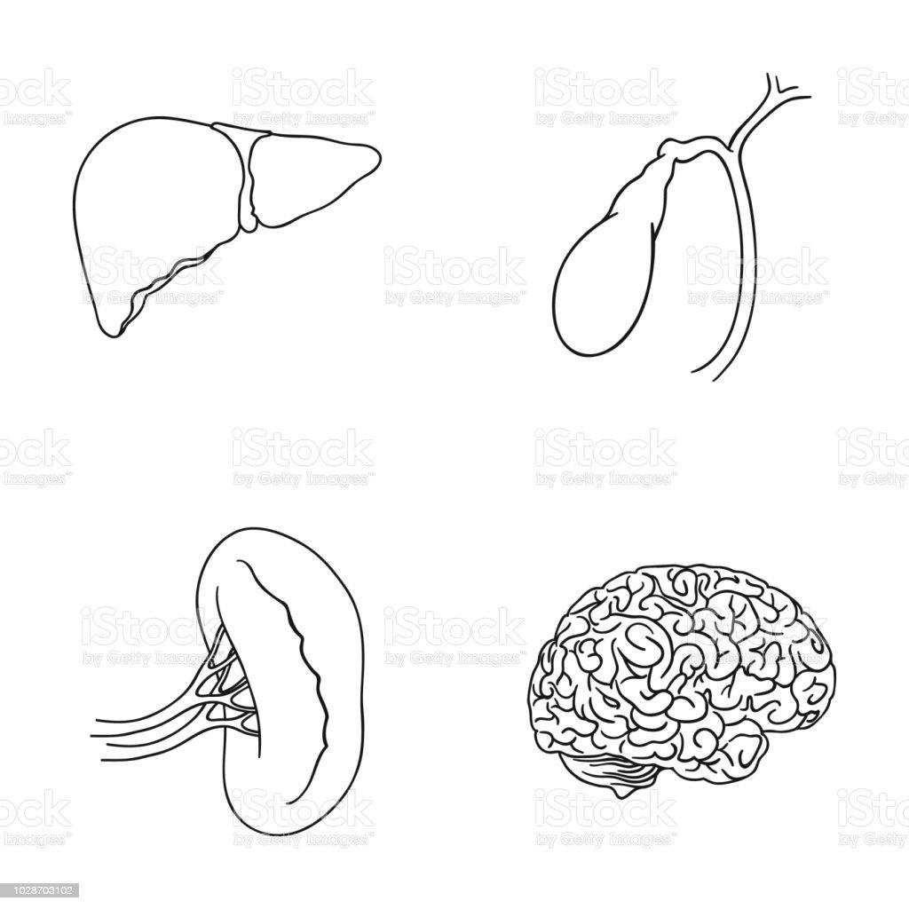 Liver Gallbladder Kidney Brain Human Organs Set Collection Icons In Torso Diagram Outline Style
