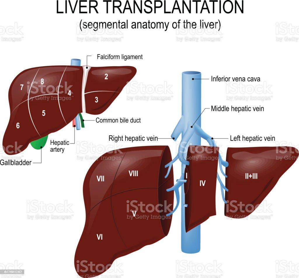 Liver Transplantation Segmental Anatomy Of The Liver Stock Vektor