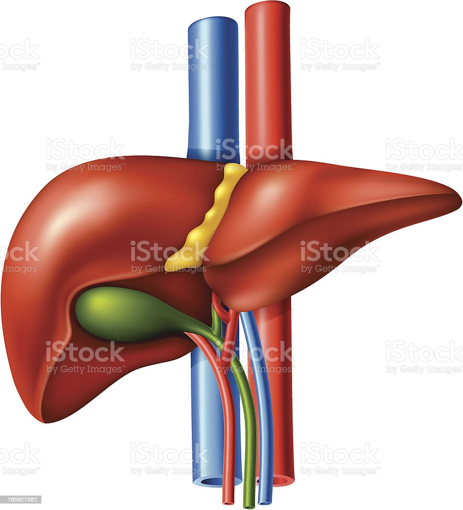 Liver royalty-free liver stock vector art & more images of anatomy