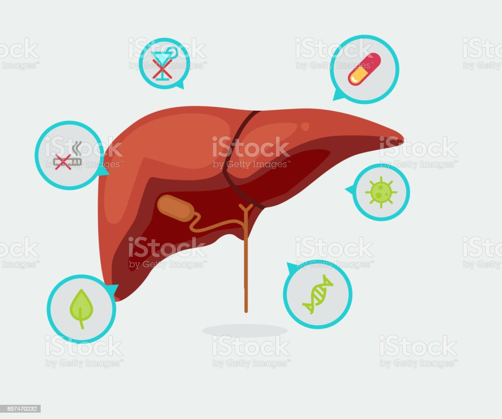 Liver Vector Illustration Stock Vector Art & More Images of ...