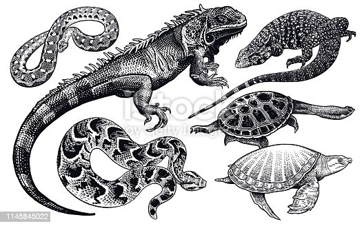 Lizards, snakes and turtles set. Isolated black sketch on white background. Vector illustration. Hand drawing realistic. Vintage engraving of wildlife.