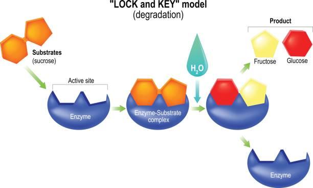 schloss und schlüssel-modell. verschlechterung. - enzyme stoffwechsel stock-grafiken, -clipart, -cartoons und -symbole
