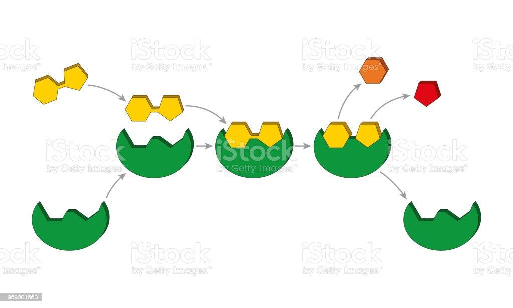 ロックおよびキーのモデル酵素基質複合体 たんぱく質のベクターアート