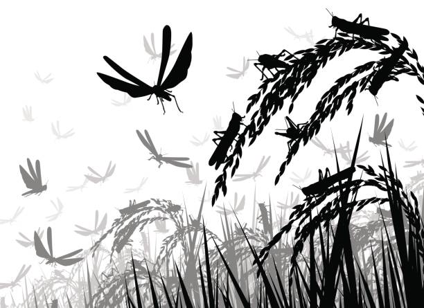 Locusts on rice Vector silhouette illustration of a swarm of locusts attacking rice plants and threatening food security swarm of insects stock illustrations