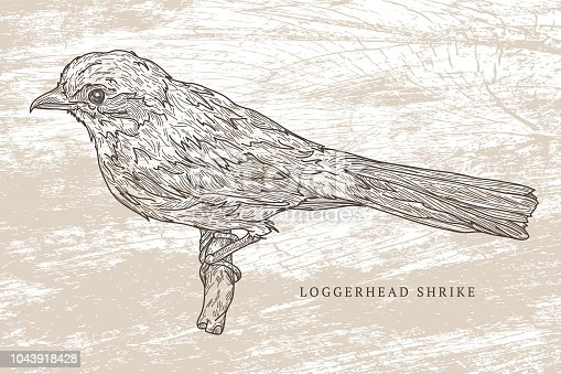 Line artwork of a loggerhead shrike, a bird endemic to North America. Separated to layers, easy to change colours or remove/add backgrounds.