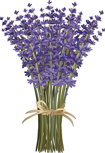 Long Stemmed Lavender Flower Bouquet  tied with twine bow Lavender Bouquet. layered. Long Stemmed Lavender Flower Bouquet  tied with twine bow. The lavender purple flowers are gathered in a tight bunch with long green stems and tied with a raffia twine bow.  The bouquet of flowers is standing upright. The purple flowers are a variety of sizes. lavender color stock illustrations