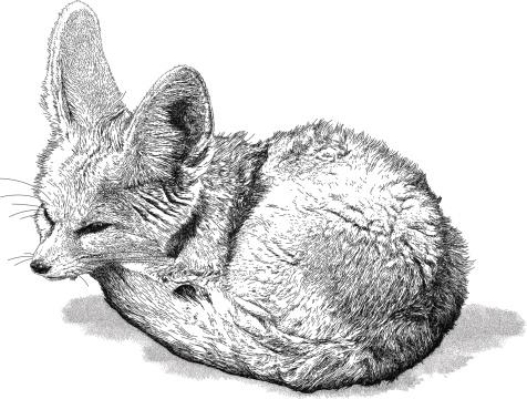 Long-eared Fox
