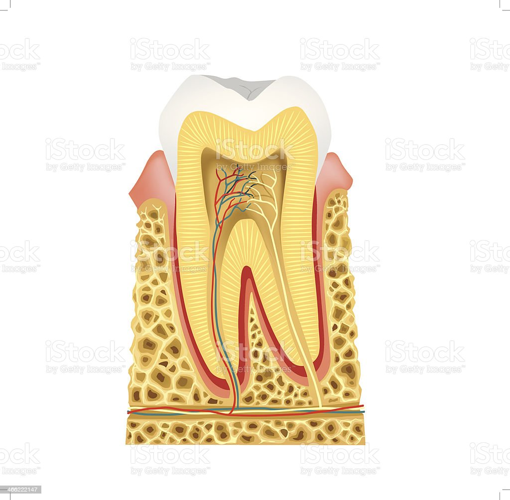 Longitudinal Section In The Tooth Tooth Anatomy Stock Vector Art ...