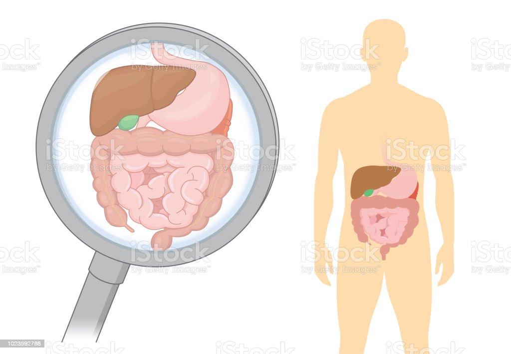 Auf Der Suche Nach Innerer Organe über Die Verdauung Des ...
