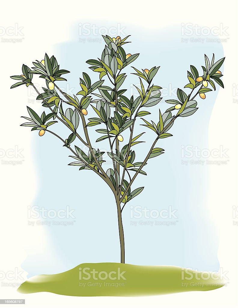 Loquat Tree royalty-free stock vector art