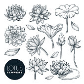 Lotus beautiful blooming flowers and leaves set, isolated on white background. Vector hand drawn sketch illustration. Tropical plants and floral nature design elements.