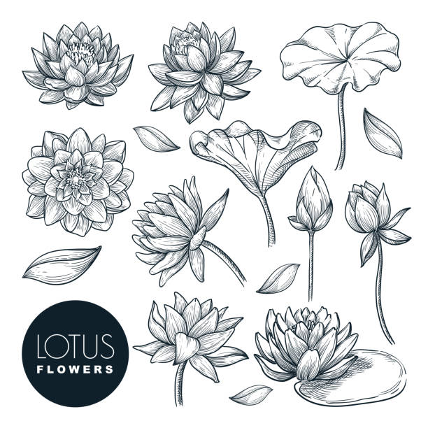 Lotus beautiful blooming flowers and leaves set, isolated on white background. Vector hand drawn sketch illustration Lotus beautiful blooming flowers and leaves set, isolated on white background. Vector hand drawn sketch illustration. Tropical plants and floral nature design elements. lotus water lily stock illustrations