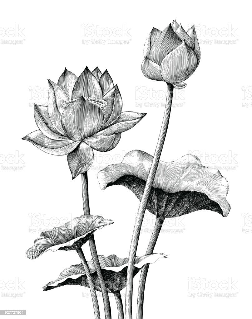 Lotus flower hand drawing vintage engraving style lotus flower hand drawing vintage engraving style - immagini vettoriali stock e altre immagini di acqua royalty-free