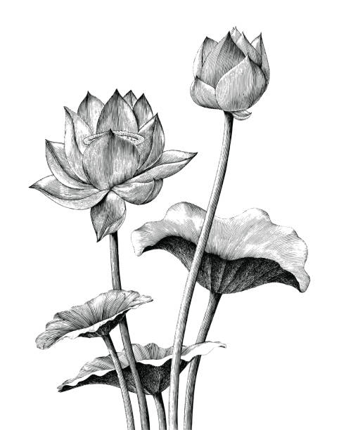 lotus flower hand drawing vintage engraving style - гравюра на дереве stock illustrations
