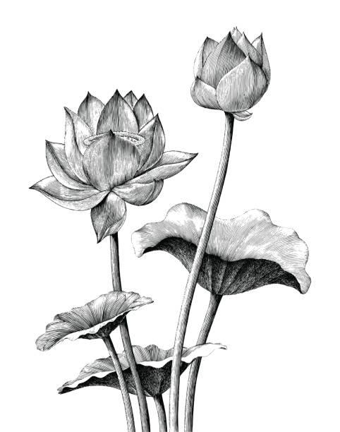 ilustrações, clipart, desenhos animados e ícones de lótus flor mão desenho vintage estilo de gravura - lotus