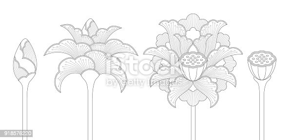 Line art of ornamental Indian lotus flowers in four different phases: bud, opening blossom, full blossom and seed pod.