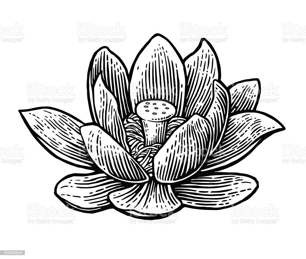 lotus flower vector black engraving vintage illustration