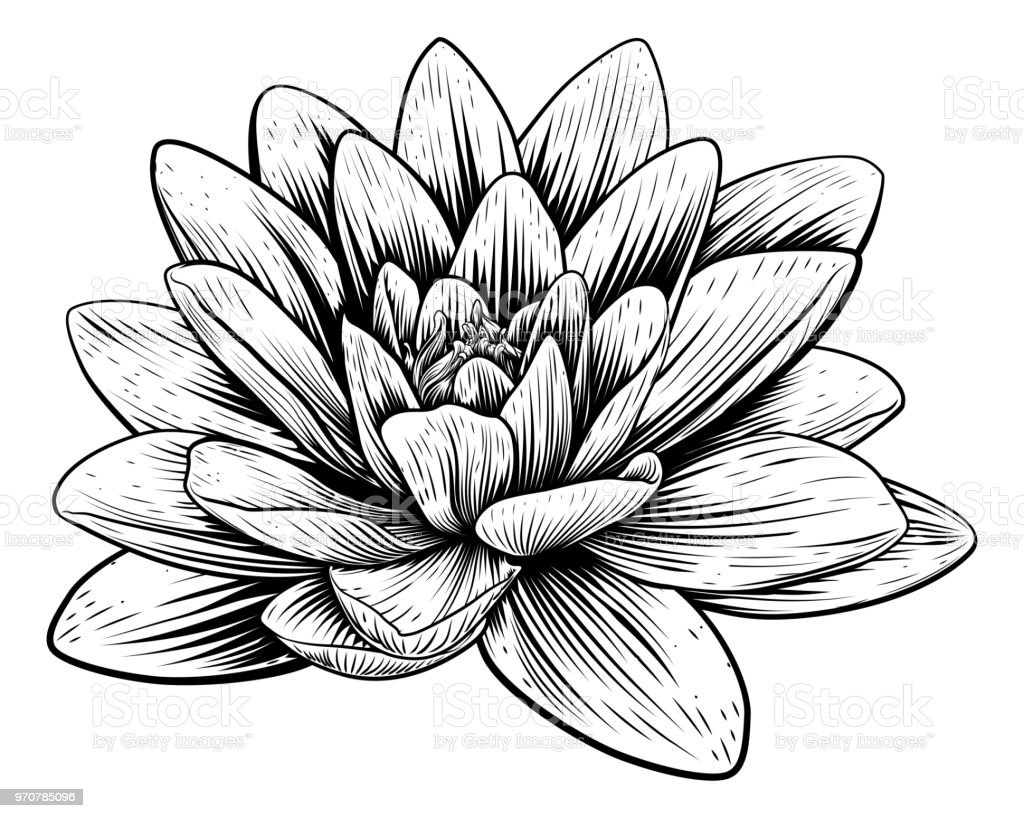 Lotus Flower Water Lily Vintage Woodcut Etching Stock Vector Art