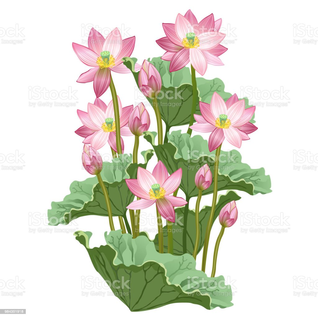 Lotus Flowers Hand Drawn Vector Illustration Stock Vector Art More