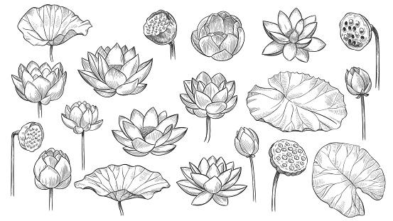 Lotus. Sketch floral composition lotus flowers and leaves, magic flower life symbol, black outline botanical plant hand drawn vector set
