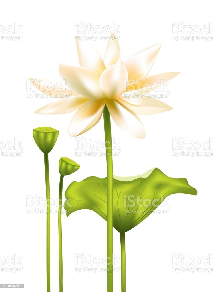 Lotus White Flower Floral Background Asia Water Lily Buddhism India