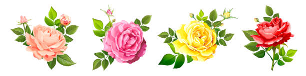 Lovely rose flower Set of four beautiful flower of  blooming rose different colors with leaves and buds isolated on a white background. Lovely floral vintage design element. Vector illustration in watercolor style rose flower stock illustrations