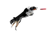 Low Poly Illustration of Real Looking Dog Jumping and Catching Disc. Border Collie Fetching Disc on White Background.