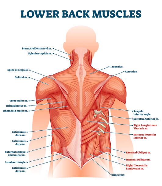 Lower back muscles labeled educational anatomical scheme vector illustration vector art illustration