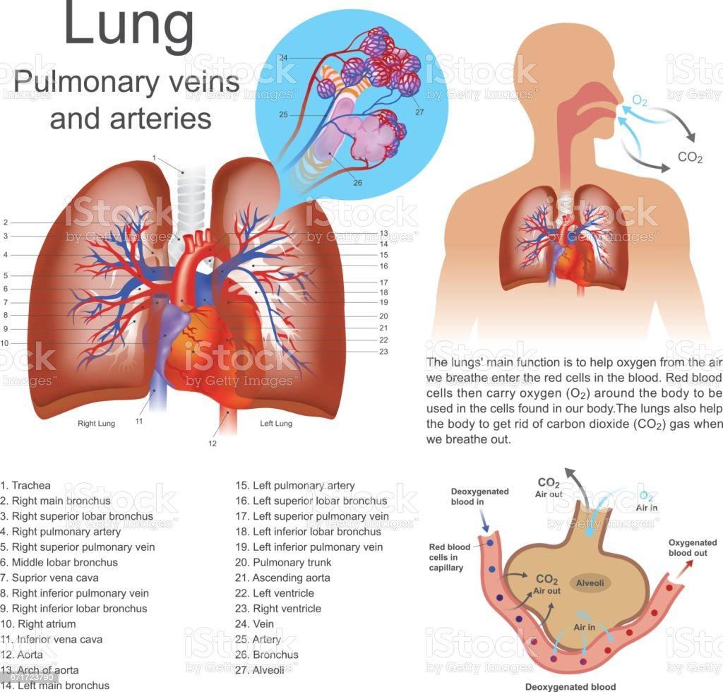 lung. vector art illustration