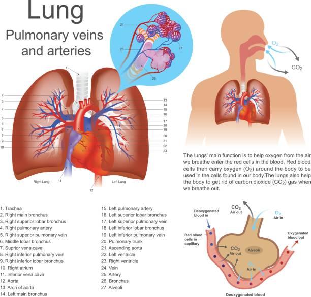 lung. vector art illustration