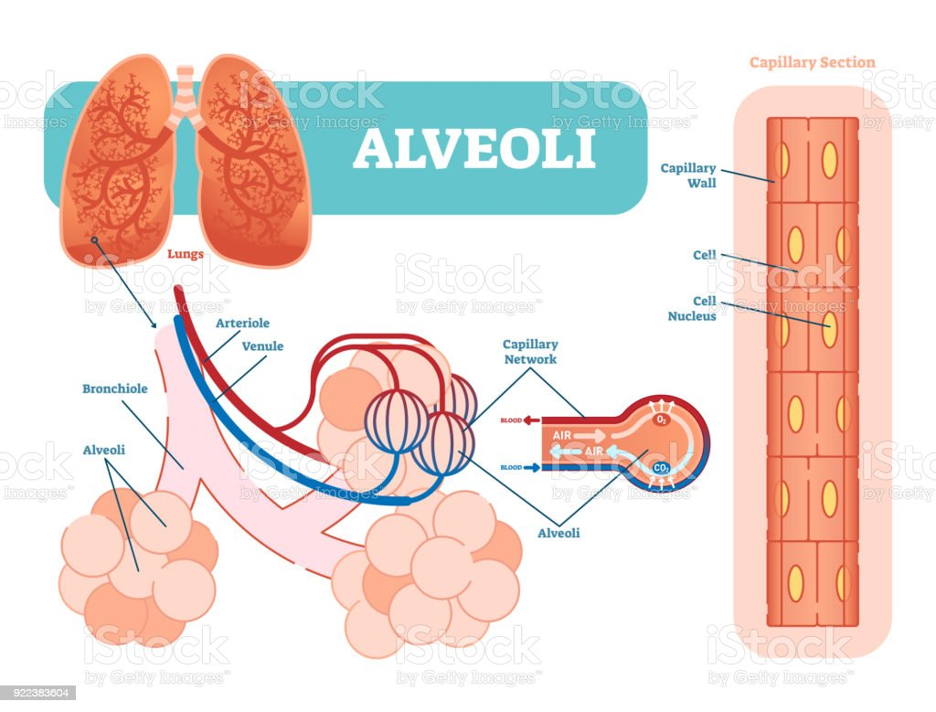 Lungs Alveoli Schematic Anatomical Vector Illustration Diagram With ...