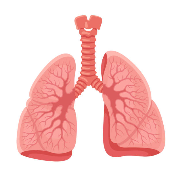 Lungs anatomy. Human internal organ. vector art illustration