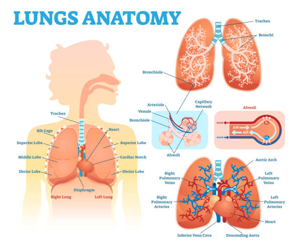 Lungs anatomy medical vector illustration diagram set with lung lobes, bronchi and alveoli. Educational information poster. Lungs anatomy medical vector illustration diagram set with lung lobes, bronchi and alveoli. lung stock illustrations