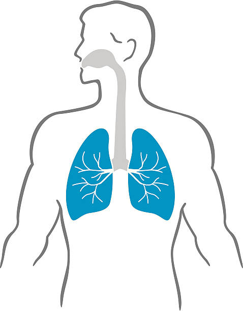 Lungs and human body Stylized male human body with lungs respiratory system stock illustrations