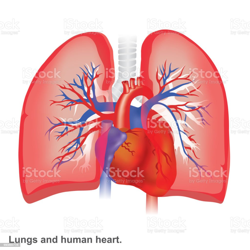 Lungs And Human Heart Illustration Infographic Anatomy Stock Vector