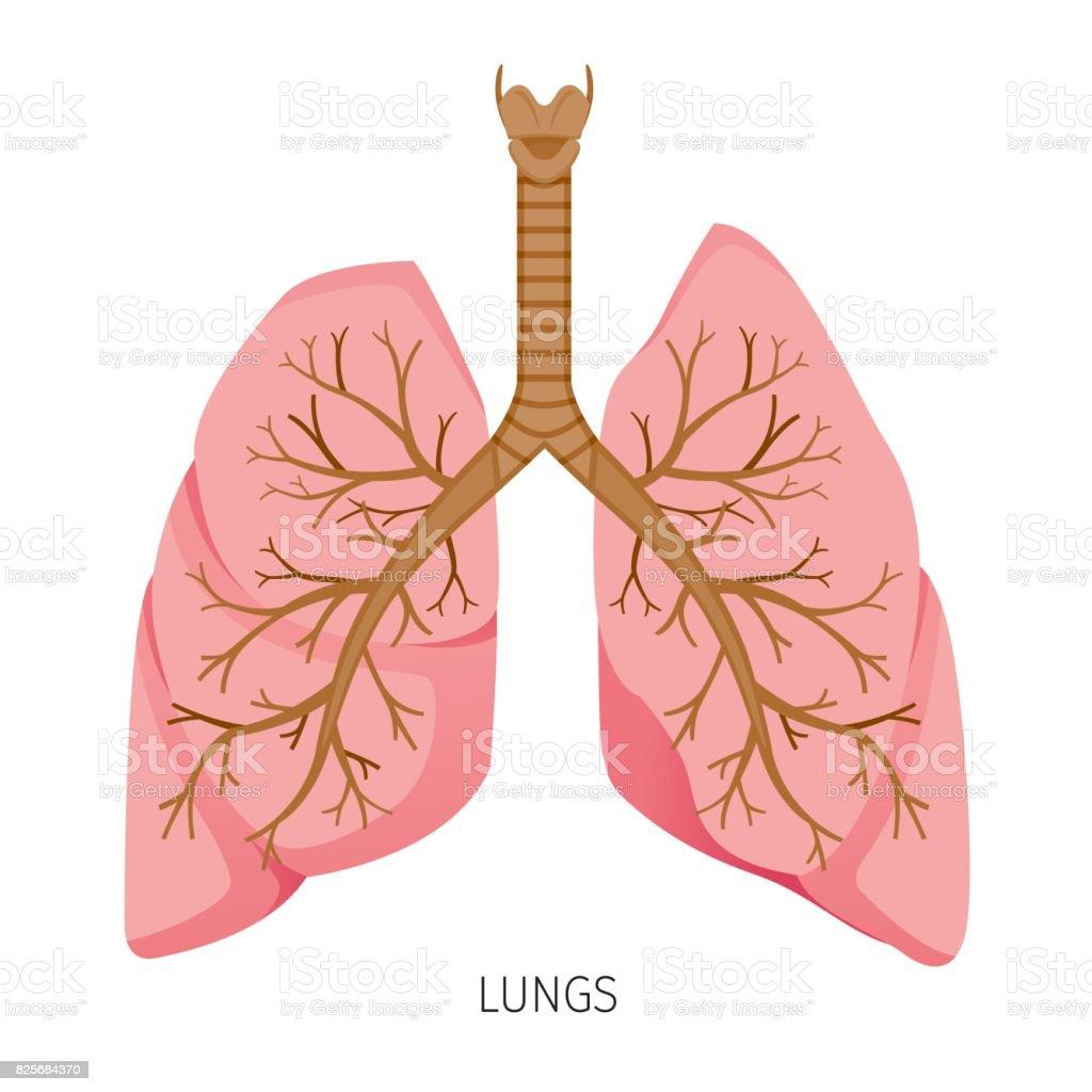 Lungs Human Internal Organ Diagram Stock Vector Art & More Images of ...