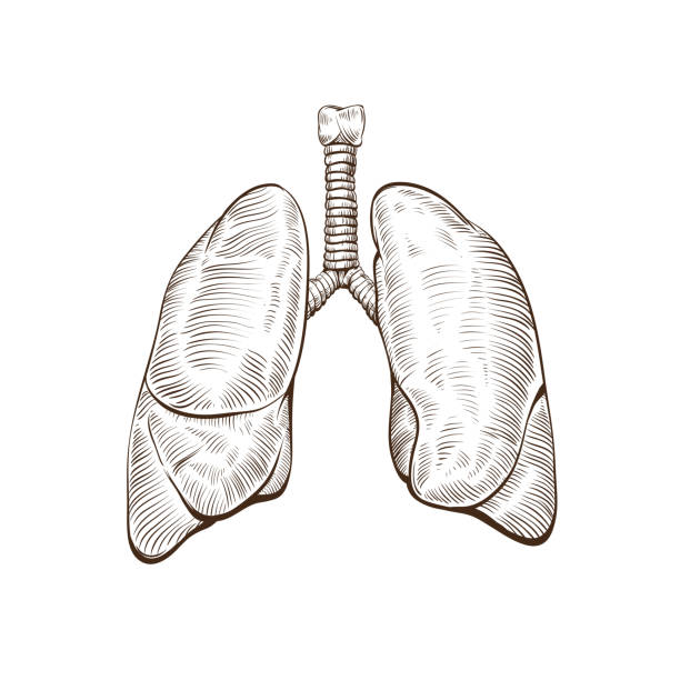 Lungs isolated on a white backgrounds Hand drawn lungs isolated on a white backgrounds human lung stock illustrations