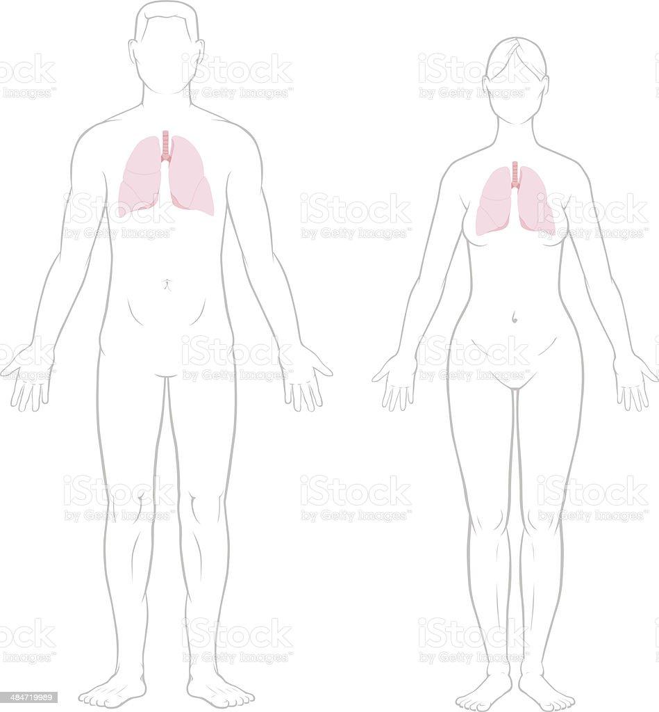 Pulmonesmacho Y Hembra - Arte vectorial de stock y más imágenes de ...