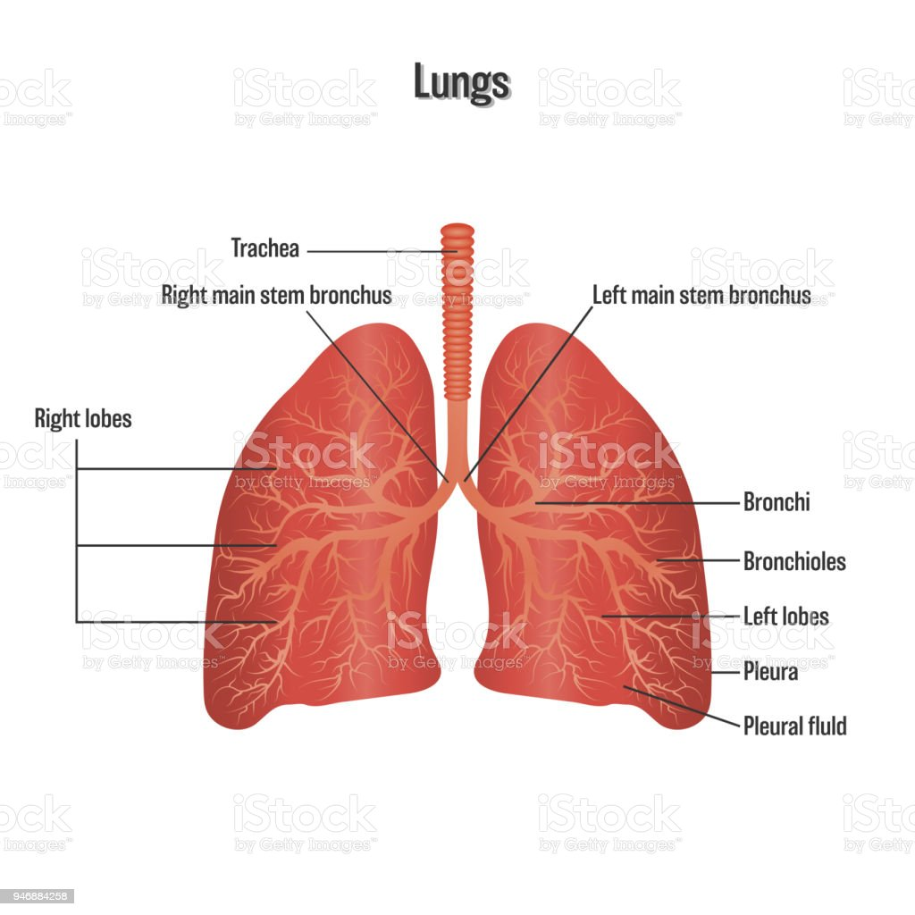 Lungs Symbol Breathing Exercise Respiratory System Isolated On White ...