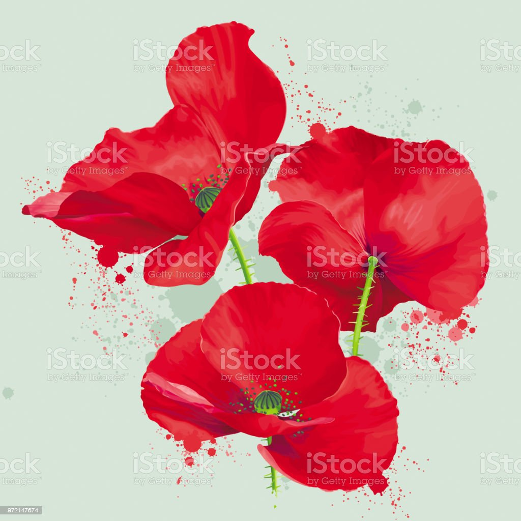 Luxurious Bright Red Vector Poppy Flowers Drawing In Watercolor