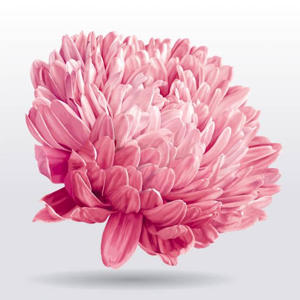 ilustrações de stock, clip art, desenhos animados e ícones de luxurious pink aster flower - flower white background