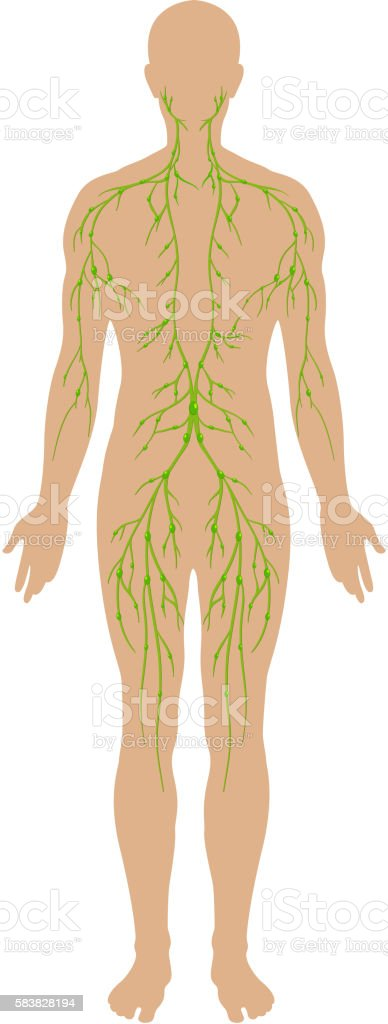 Lymphatic Diagram In Human Being Stock Vector Art 583828194 Istock