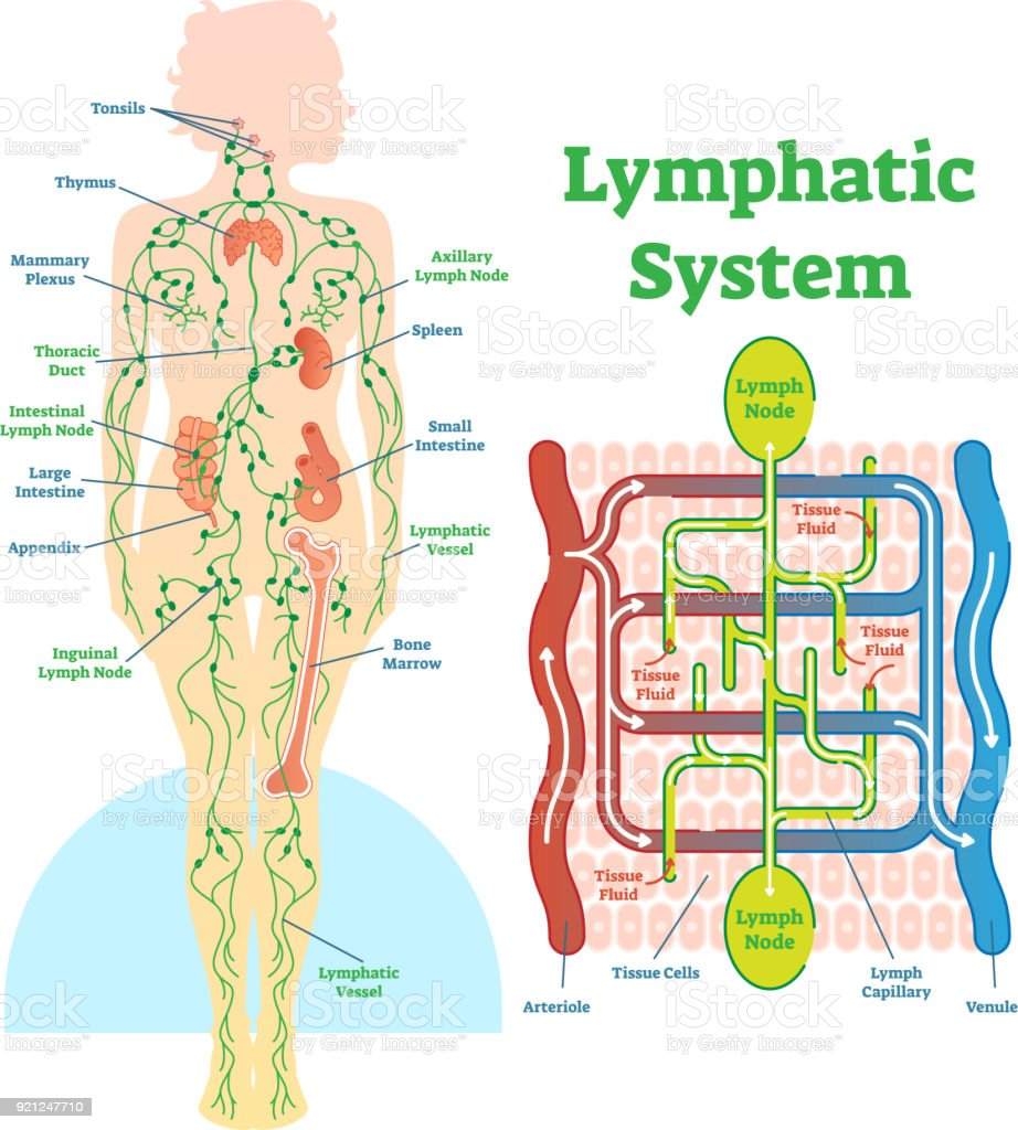 Antique lymph node diagram diy wiring diagrams royalty free lymphatic system clip art vector images rh istockphoto com lymph node anatomy lymph node ccuart Images
