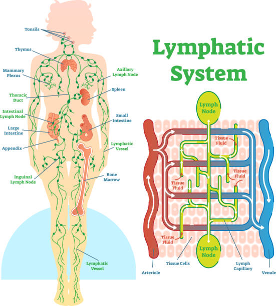 Lymphatic system anatomical vector illustration diagram, educational medical scheme. Lymphatic system anatomical vector illustration diagram, educational medical scheme with lymph nodes and tissue fluid circulation flow. medical diagram stock illustrations