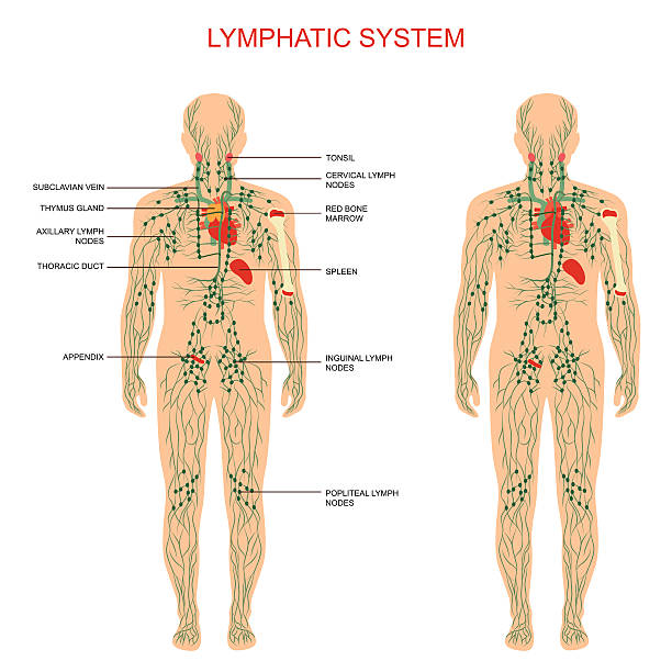 Royalty Free Lymphatic System Clip Art Vector Images